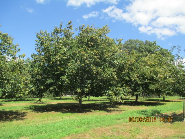 Dunstan Chestnut orchard in NC