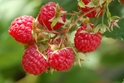 Dorman Red Raspberry