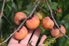 3 Gallon Early Drop - Grafted American Female Persimmon tree  persimmon, deer candy, deer magnet, grafted persimmon