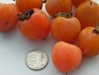 3 gallon Deer Magnet - Late drop Grafted American Persimmon tree  persimmon, deer candy, deer magnet, grafted persimmon