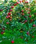Winesap Apples - Winesap Apples