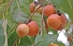 2 Gallon Early Drop - Grafted American Female Persimmon  - 2 Gallon Early Drop - Grafted American Female Persimmon